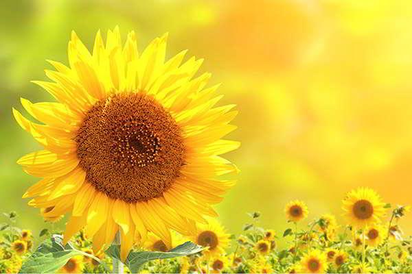 sonnenblumen teaser